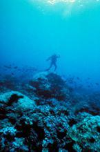 Coral fish and diver