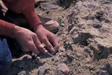 Paleontologist excavating fossils in Colorado's Dry Mesa Quarry